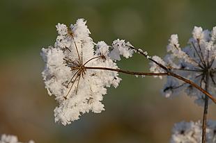 Schermbloemige met sneeuw