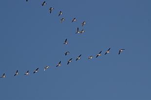 Vele ganzen op weg naar open water