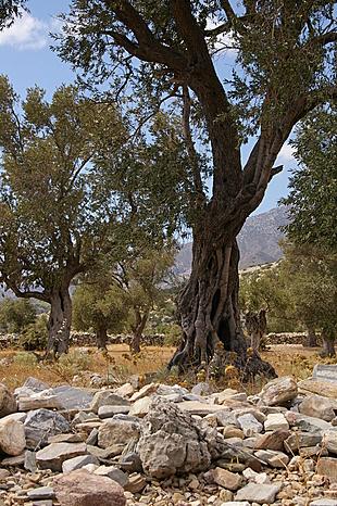 Groepje oude olijfbomen