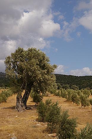 Oude boom tussen de jonge aanplant