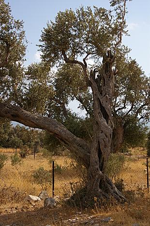 Verdraaide, oude olijfboom