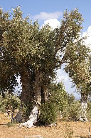 Als deze olijfboom kon vertellen...