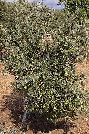 Jonge olijfboom