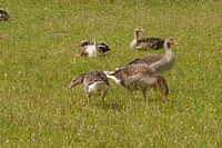 Groepen grauwe ganzen