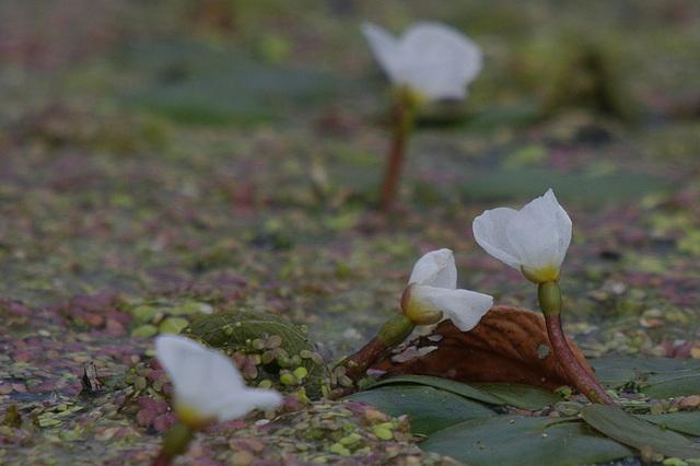 Kikkerbeet in bloei