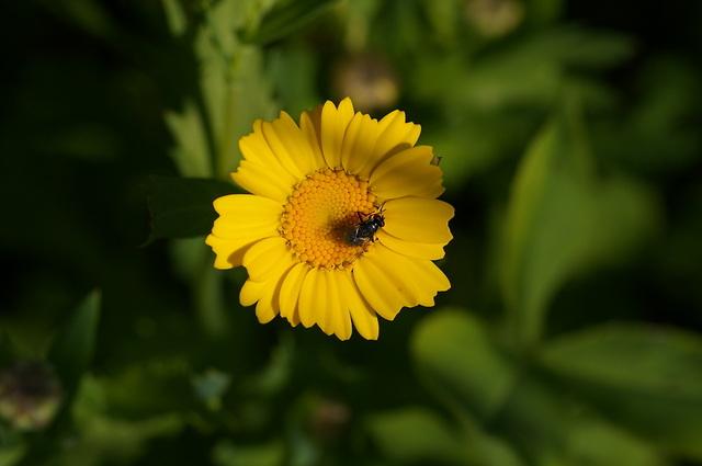 Gele bloem met vlieg