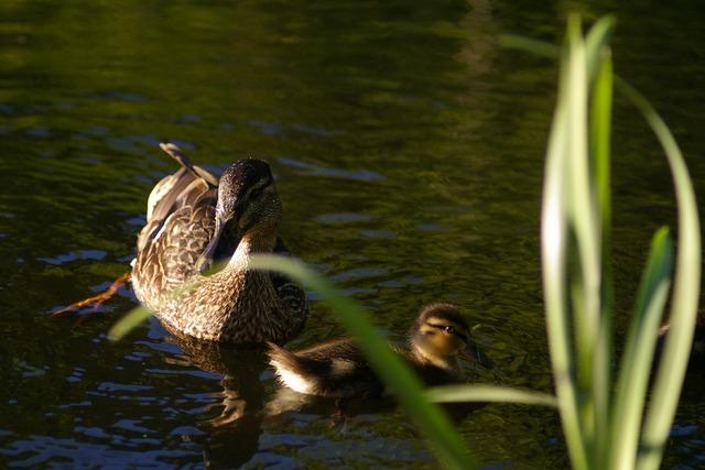 Moeder en jong eend