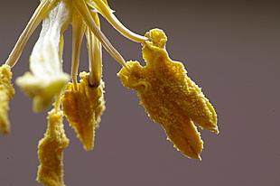 Meeldraden van een tulp