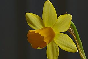 Narcisje uit een bloemstuk