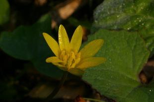 Gele bloem van speenkruid