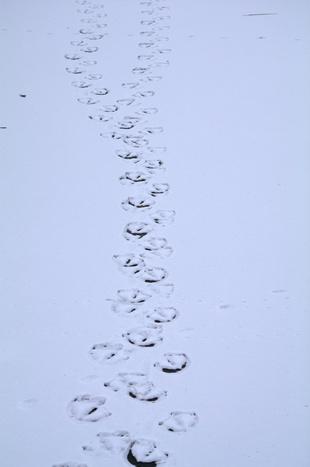 Zwanensporen op het ijs