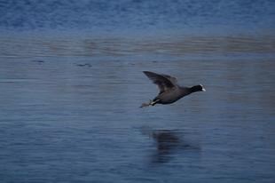 Vliegende meerkoet