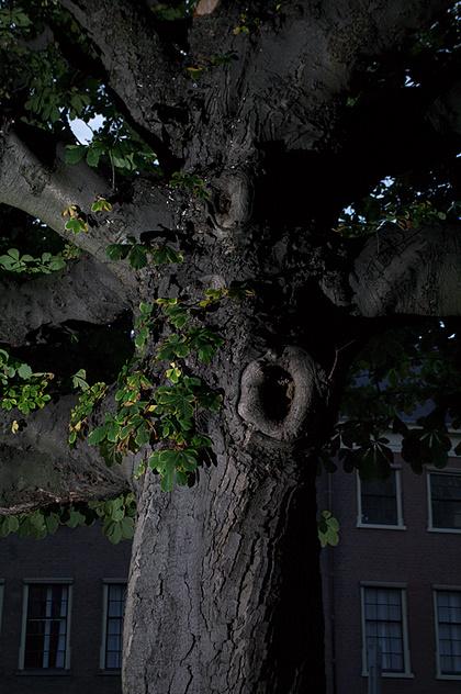 Kastanjeboom langs het Spui