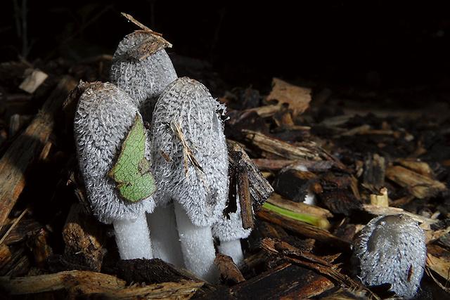 Kleine blauwe paddenstoelen