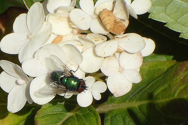 Groene vleesvlieg op hortensia