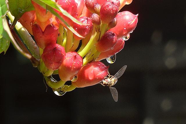Zweefvlieg op trompetplant