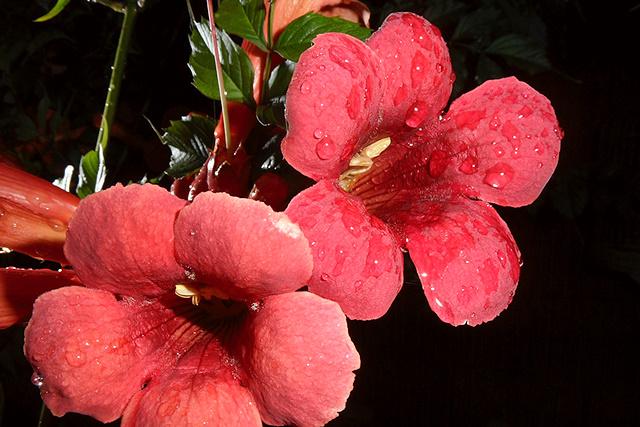 Trompetplant bloemen