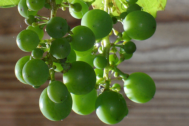 Jonge druiven