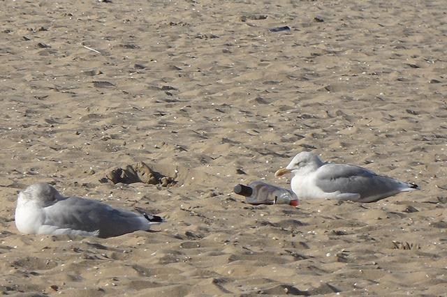 Meeuwen in het zand