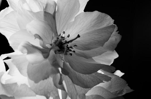 Prunus_imgu8787