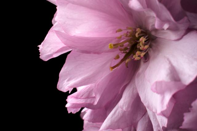 Prunus_imgu8820