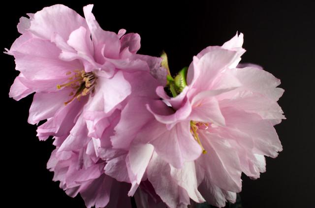Prunus_imgu8824