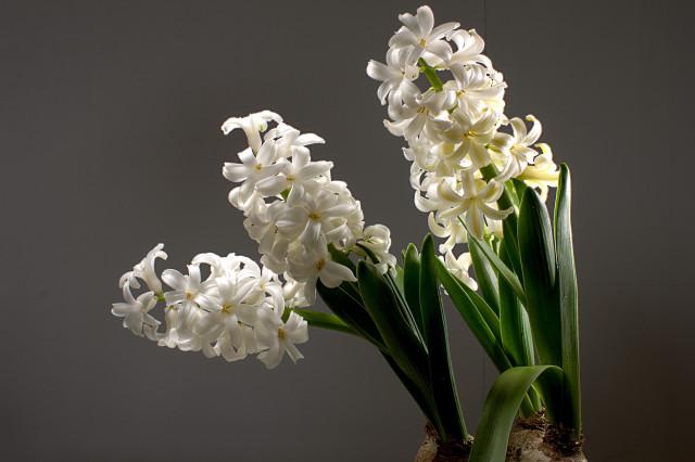hyacinth_1