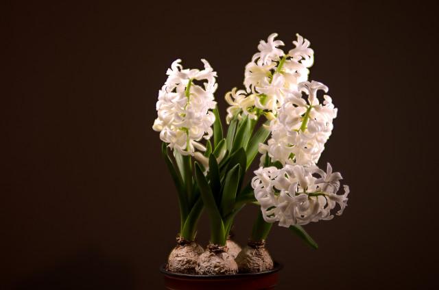 hyacinth_7