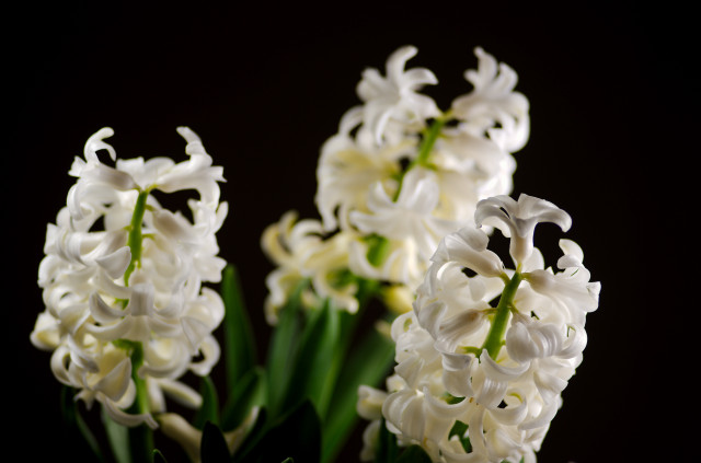 hyacinth_imgu8929