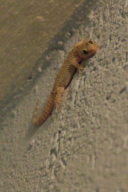 Dit heet een osmancık en zat op onze muur. Erg nuttig want ze eten veel insecten. Wellicht is het een soort gekko?